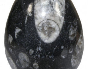 Octhocerus Polished Egg