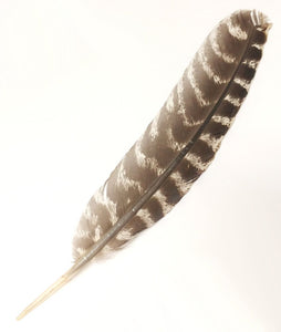 Wild Turkey Feather
