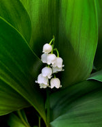 Lily of the Valley - pre-order