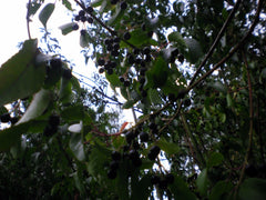 Maquí Berry Seeds