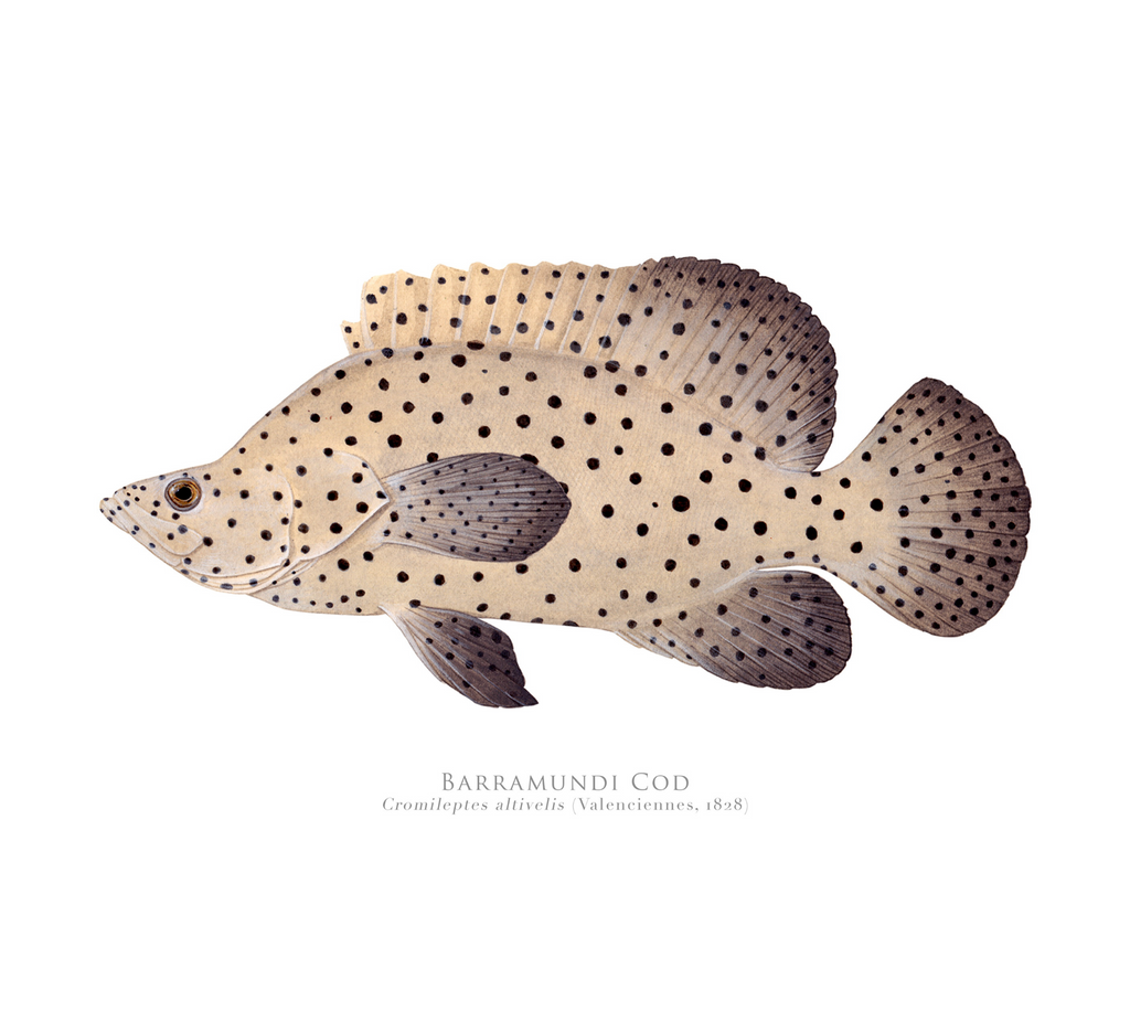 Barramundi Cod, Chromileptes altivelis (Valenciennes 1828) - Fine Art Print - Stick Figure Fish Illustration