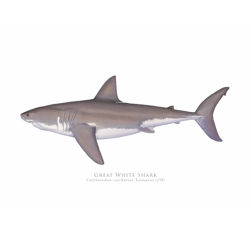 Great White Shark, Carcharodon carcharias (Linnaeus 1758) - Fine Art Print - Stick Figure Fish Illustration