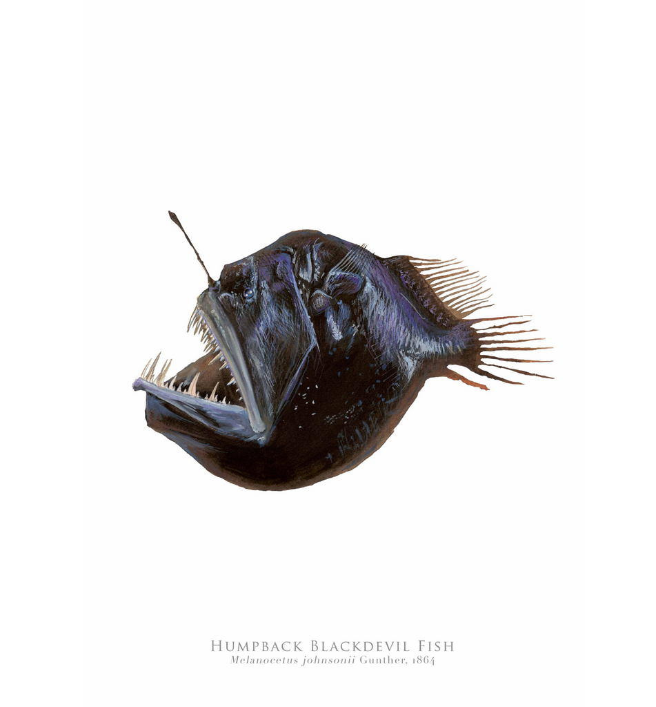 PREORDER   Humpback Blackdevil, Melanocetus johnsonii Gunther, 1864 - Fine Art Print - Stick Figure Fish Illustration