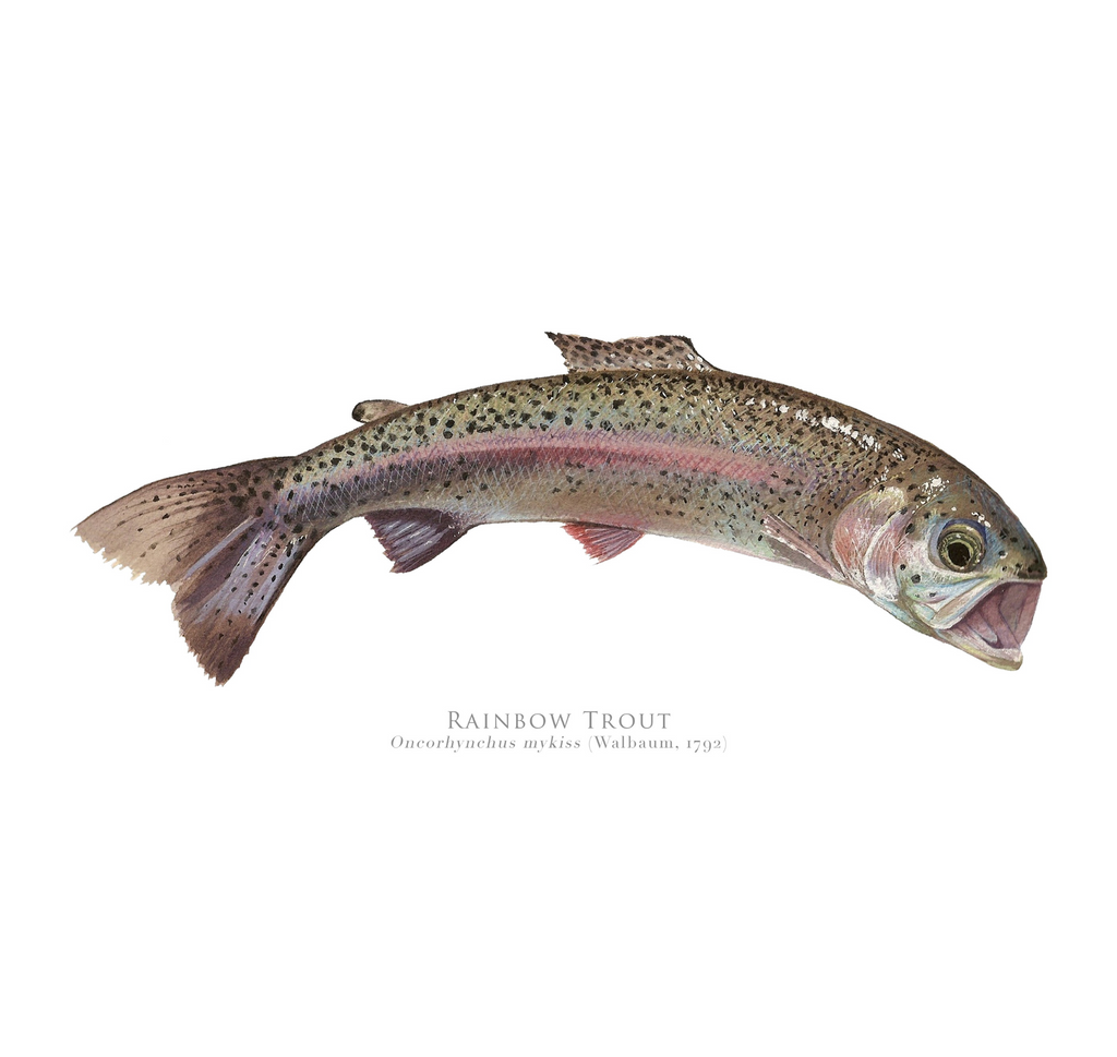 Rainbow Trout, Oncorhynchus mykiss (Walbaum 1792) - Fine Art Print - Stick Figure Fish Illustration