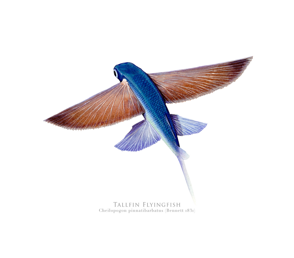 Tallfin Flyingfish, Cheilopogon pinnatibarbatus (Bennett 1831) - Fine Art Print - Stick Figure Fish Illustration