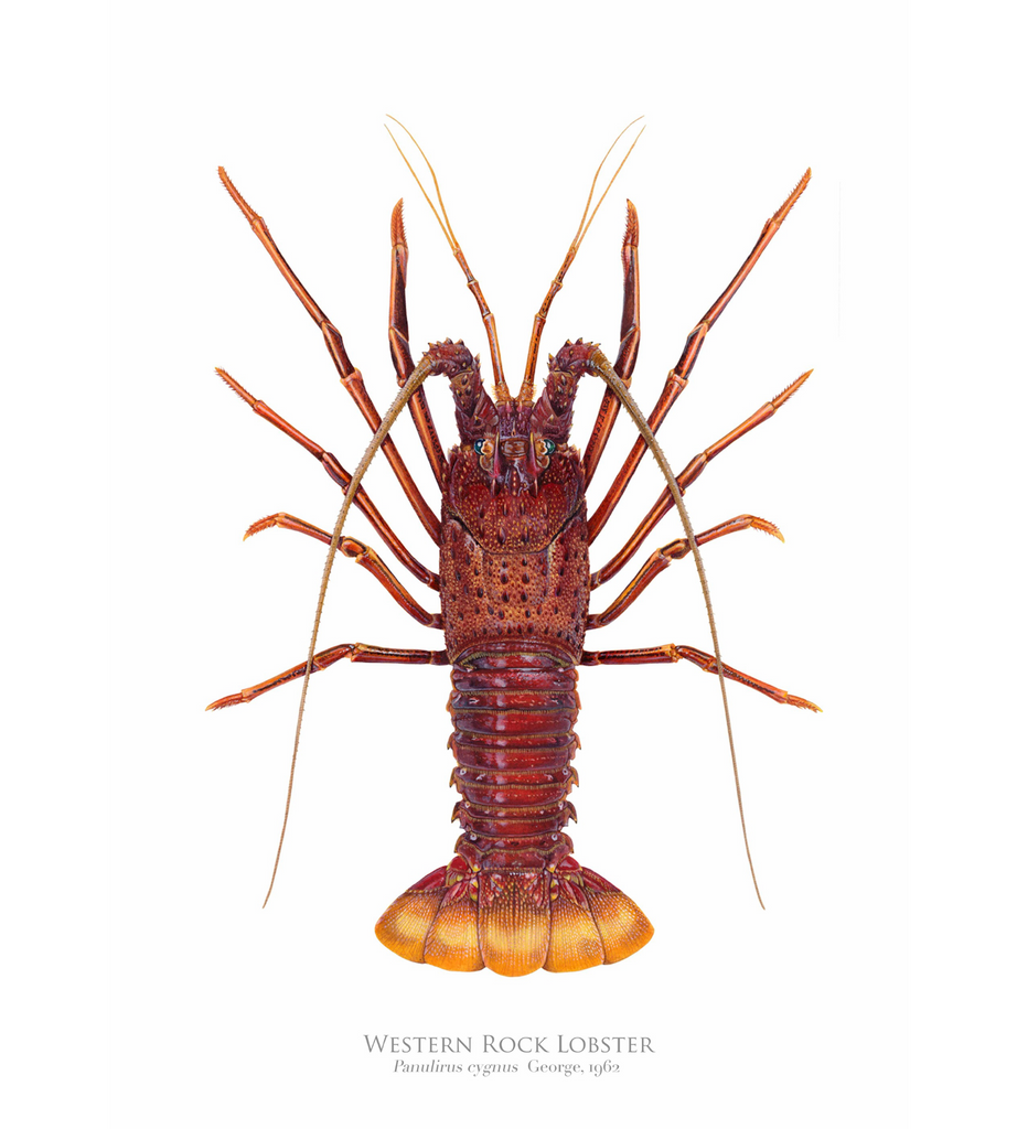 Western Rock lobster Panulirus cygnus (George, 1962) - Fine Art Print - Stick Figure Fish Illustration