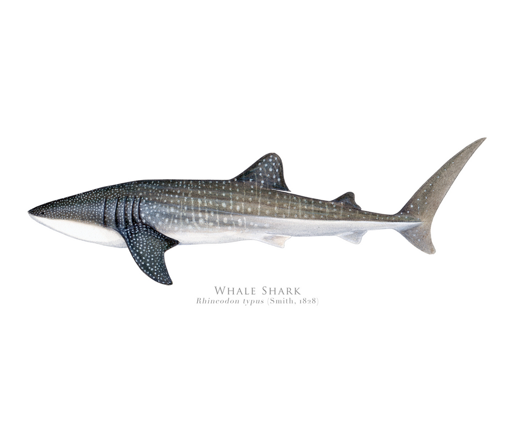 PREORDER   Whale Shark, Rhincodon typus (Smith 1828) - Fine Art Print - Stick Figure Fish Illustration