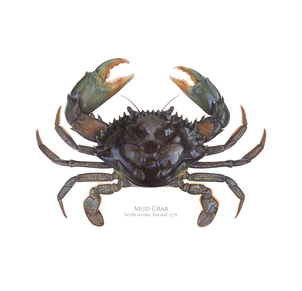 Mud Crab, Scylla serrata (Forskål, 1775) - Fine Art Print - Stick Figure Fish Illustration