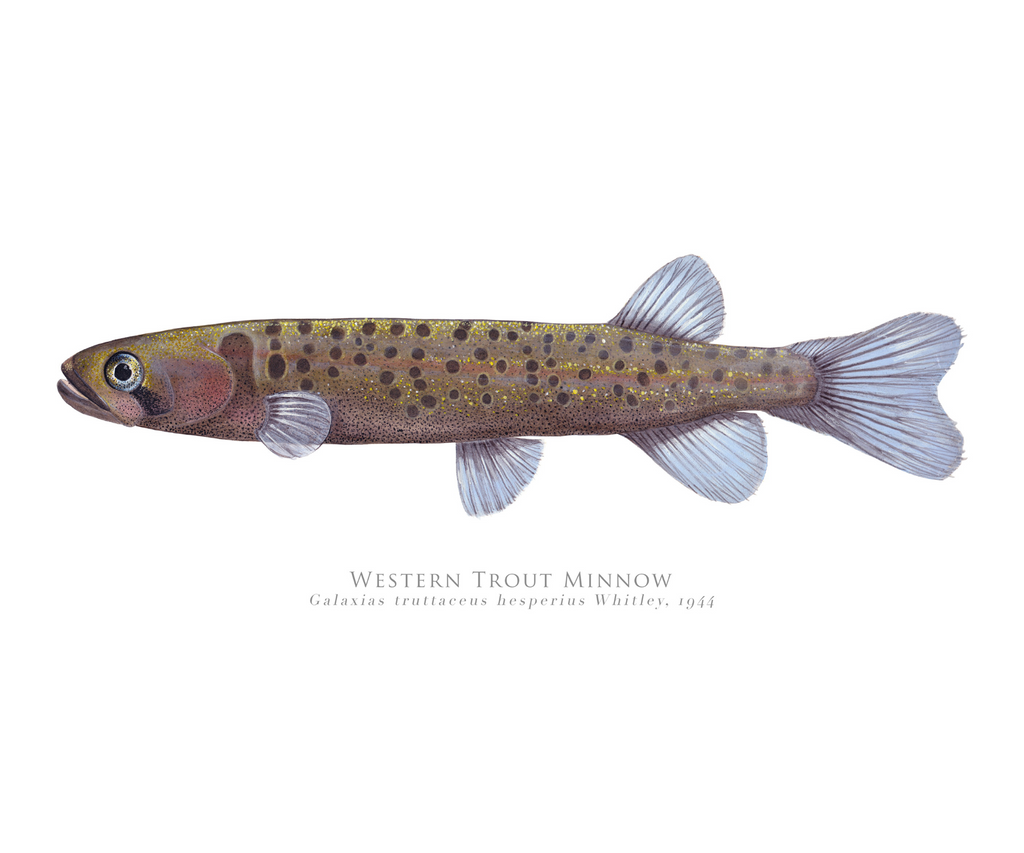 Western Trout Minnow, Galaxius truttaceus hesperius Whitley, 1944 - Fine Art Print - Stick Figure Fish Illustration