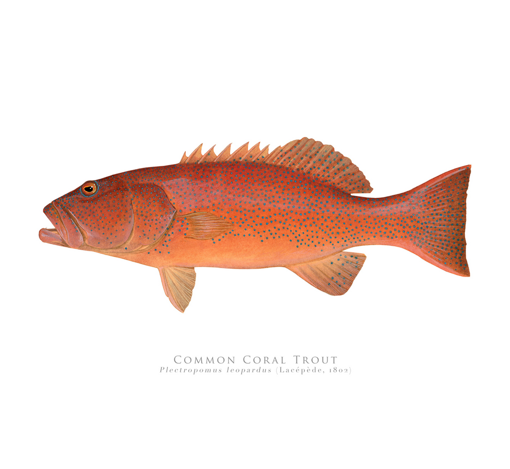 Common Coral Trout, Plectropomus leopardus (Lacépède, 1801) - Fine Art Print - Stick Figure Fish Illustration