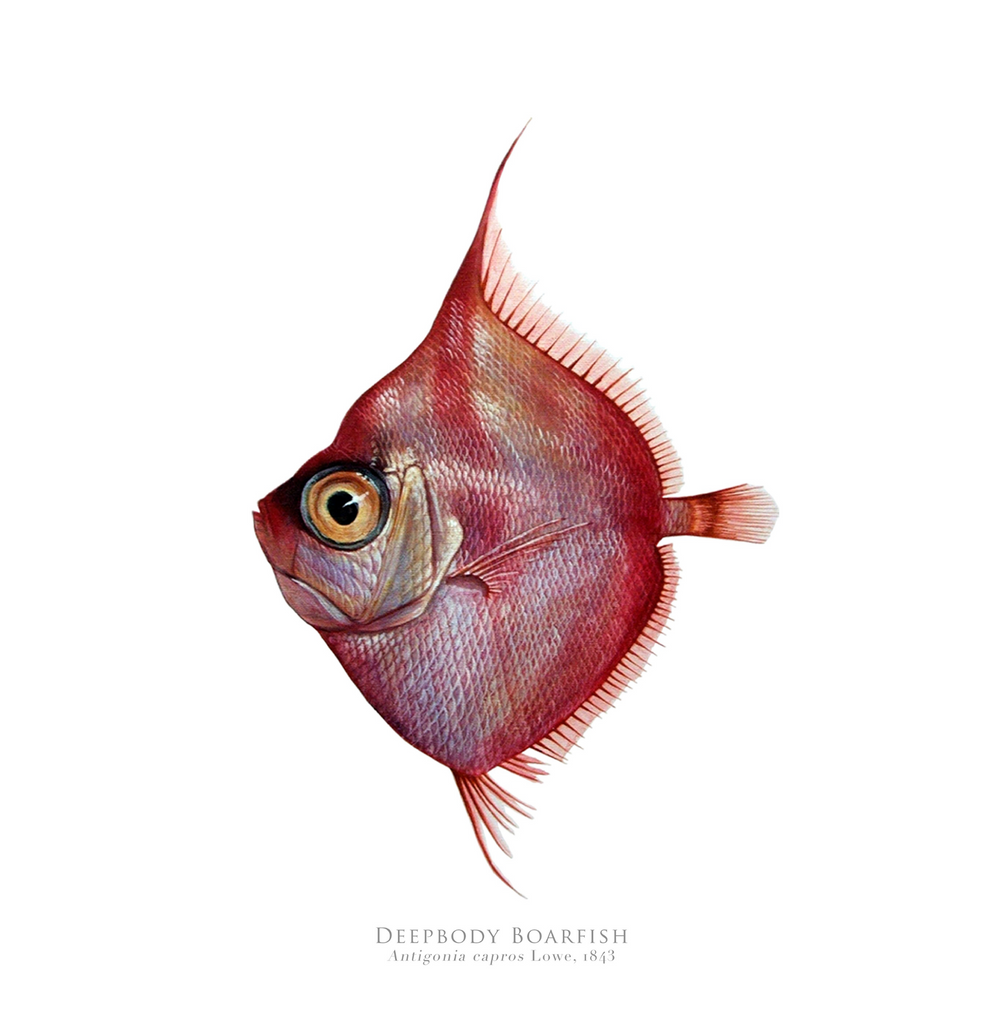 PREORDER   Deepbody Boarfish, Antigonia capros Lowe, 1843 - Fine Art Print - Stick Figure Fish Illustration