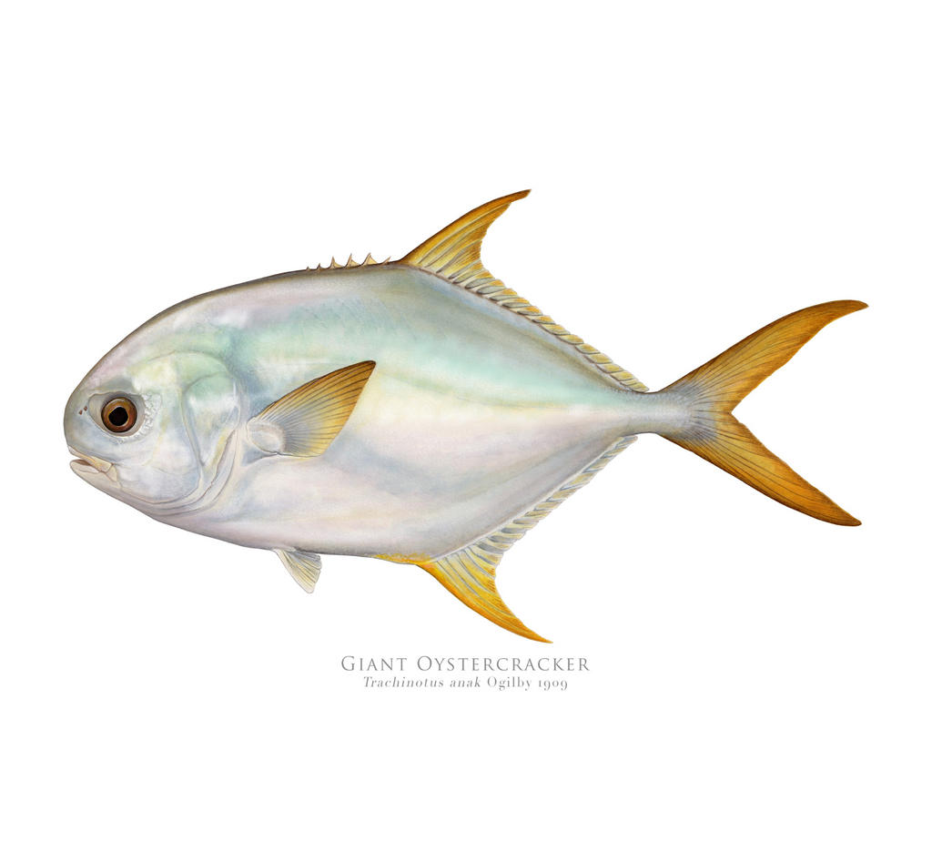 Giant Oystercracker (Permit), Trachinotus anak Ogilby 1909 - Fine Art Print - Stick Figure Fish Illustration