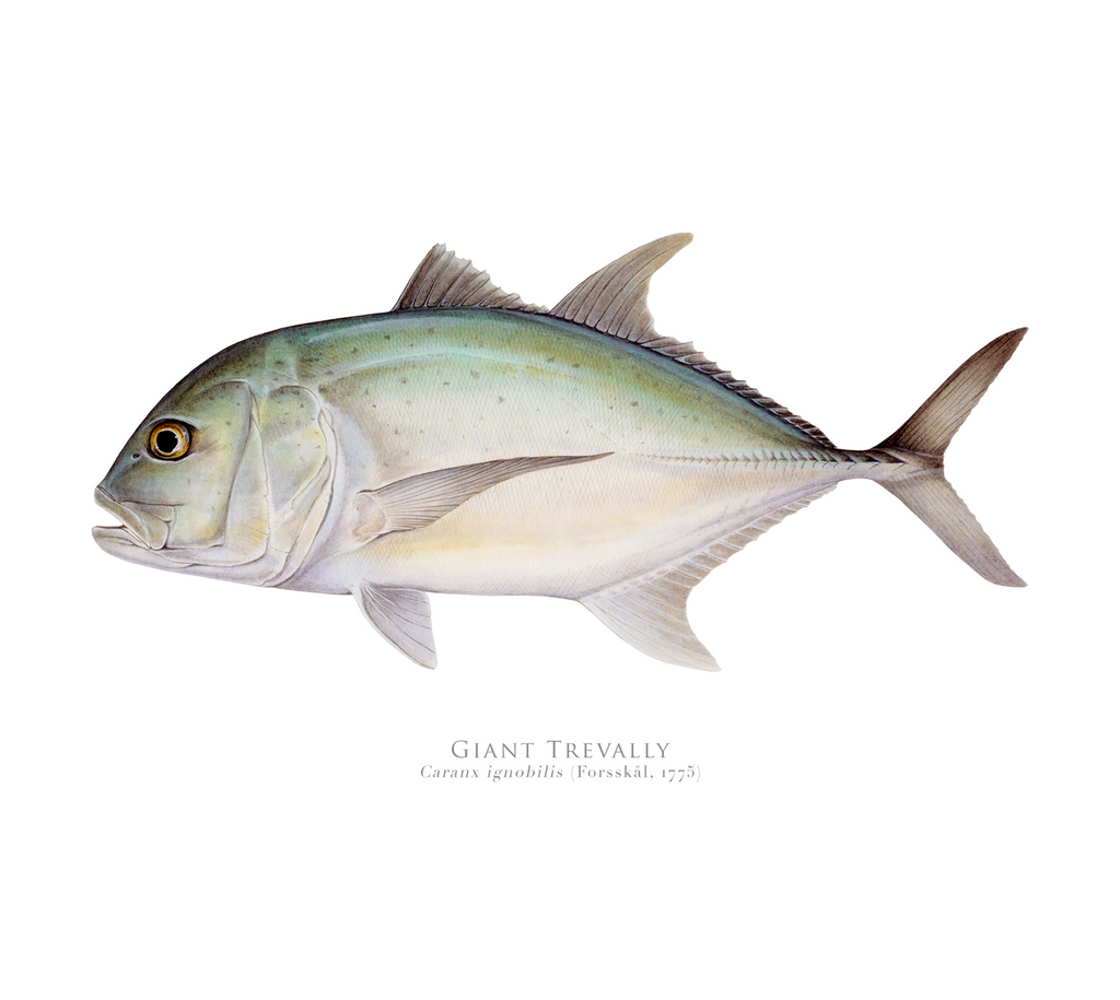 Giant Trevally, Caranx ignobilis (Forsskål 1775) - Fine Art Print - Stick Figure Fish Illustration