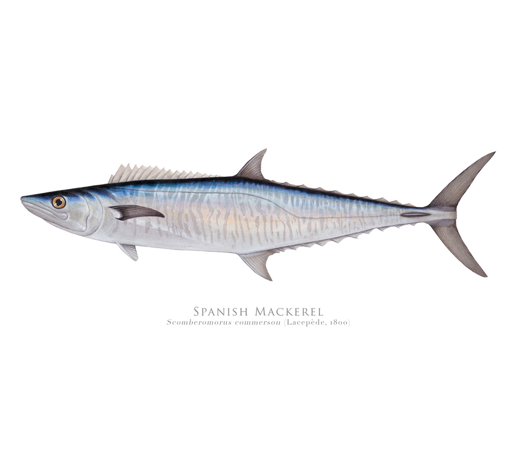 PREORDER   Spanish Mackerel, Scomberomorus commerson (Lacépède 1800) - Fine Art Print - Stick Figure Fish Illustration