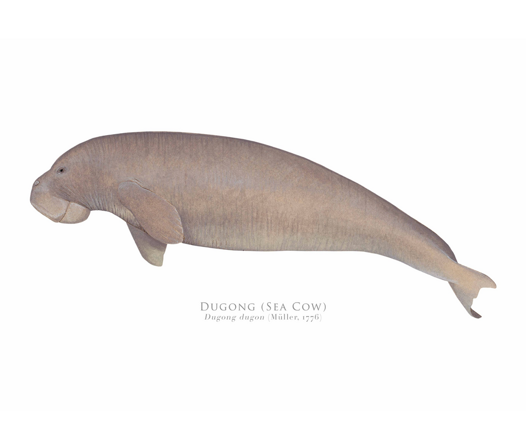 Dugong (Sea Cow), Dugong dugon (Müller, 1776) - Fine Art Print - Stick Figure Fish Illustration