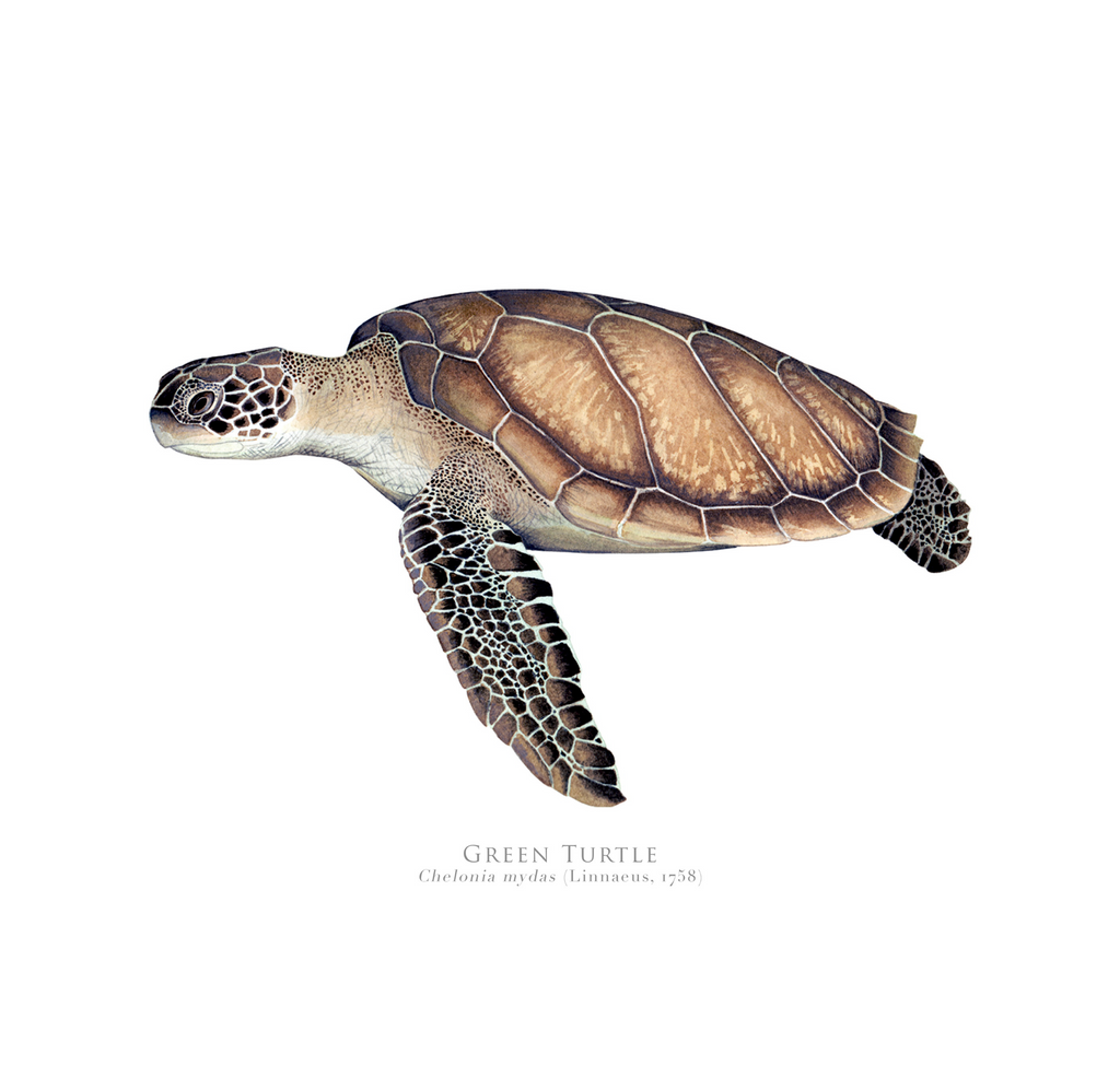 Green Sea Turtle, Chelonia mydas (Linnaeus, 1758) - Fine Art Print - Stick Figure Fish Illustration