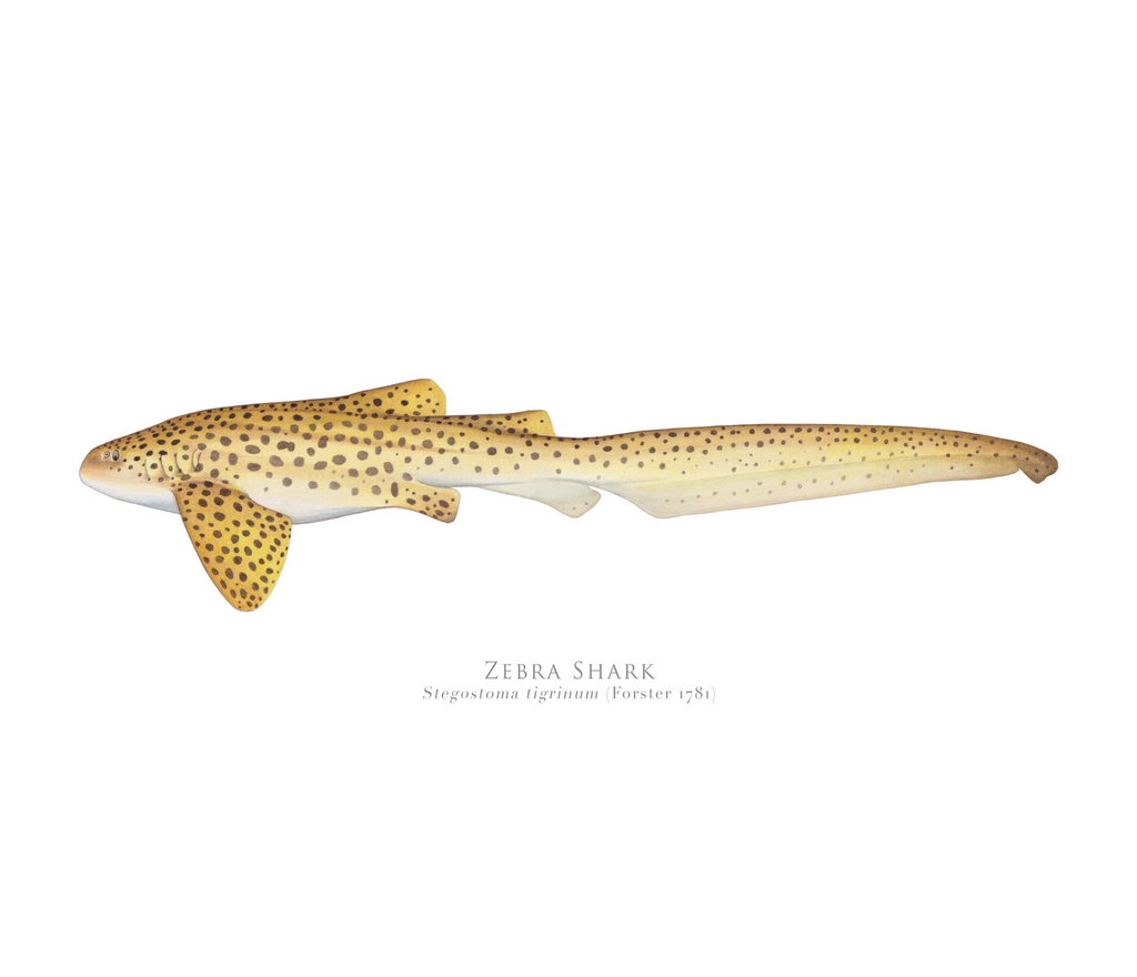 PREORDER   Zebra Shark, Stegostoma tigrinum (Forster 1781) - Fine Art Print - Stick Figure Fish Illustration