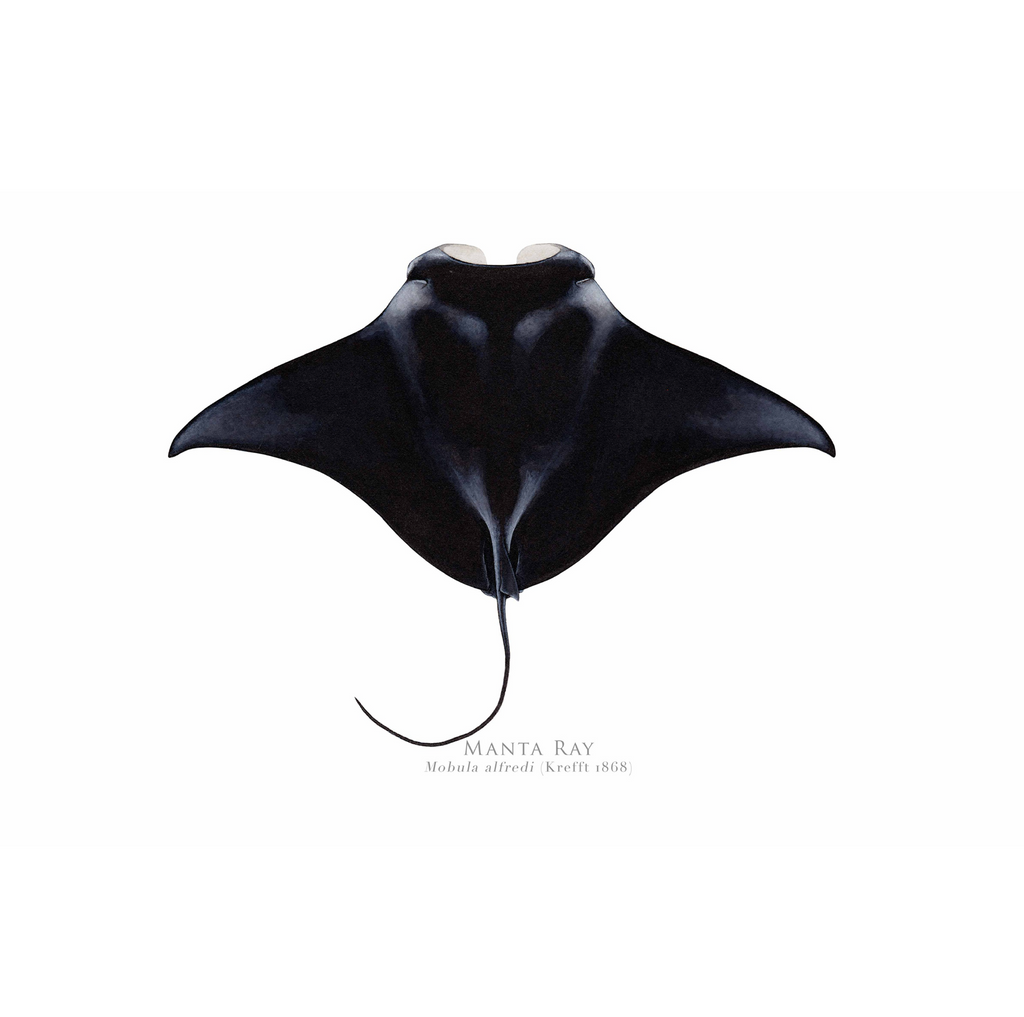 Manta Ray, Mobula alfredi (Krefft 1868) - Fine Art Print - Stick Figure Fish Illustration