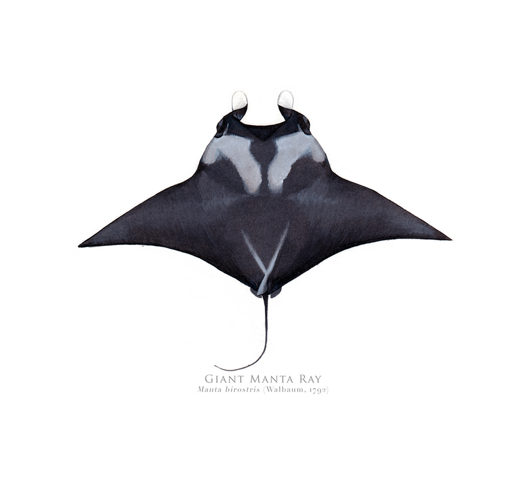 PREORDER   Giant Manta Ray, Mobula birostris (Walbaum 1792) - Fine Art Print - Stick Figure Fish Illustration