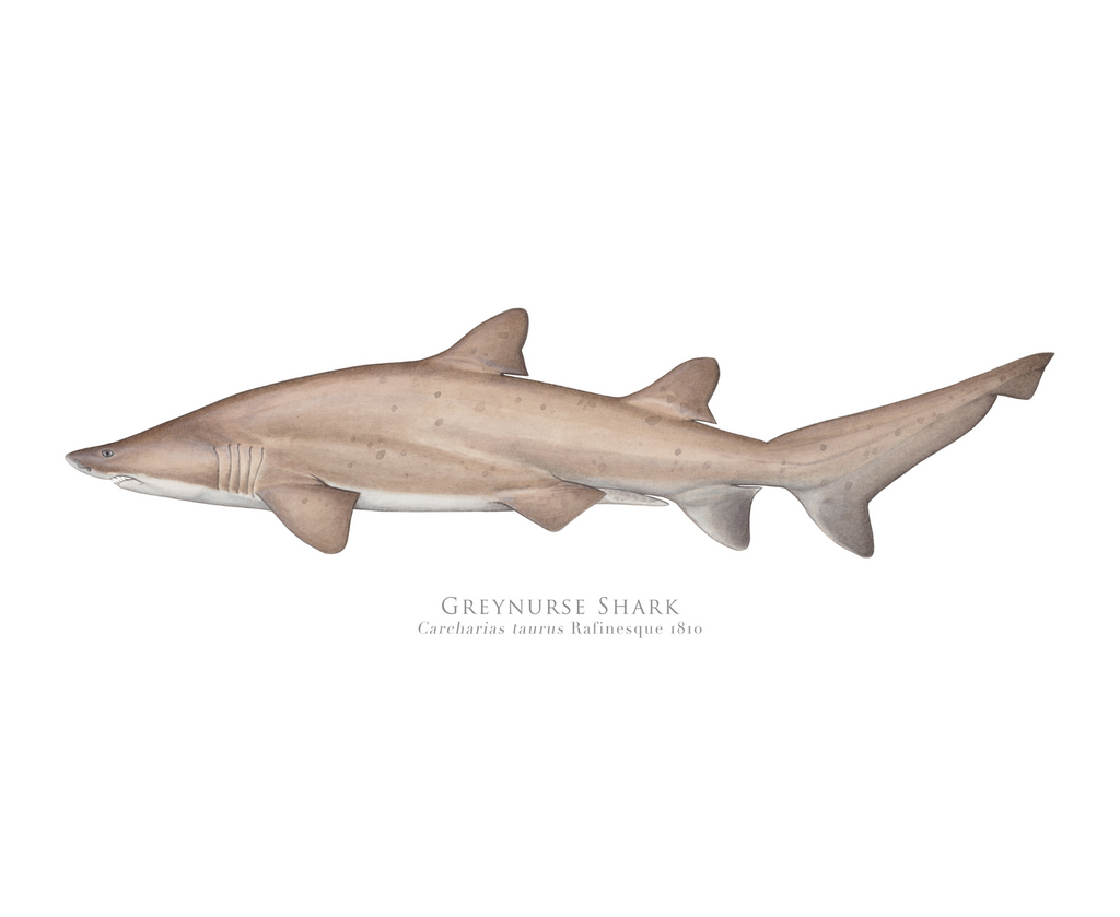 Greynurse Shark, Carcharias taurus Rafinesque 1810 - Fine Art Print - Stick Figure Fish Illustration