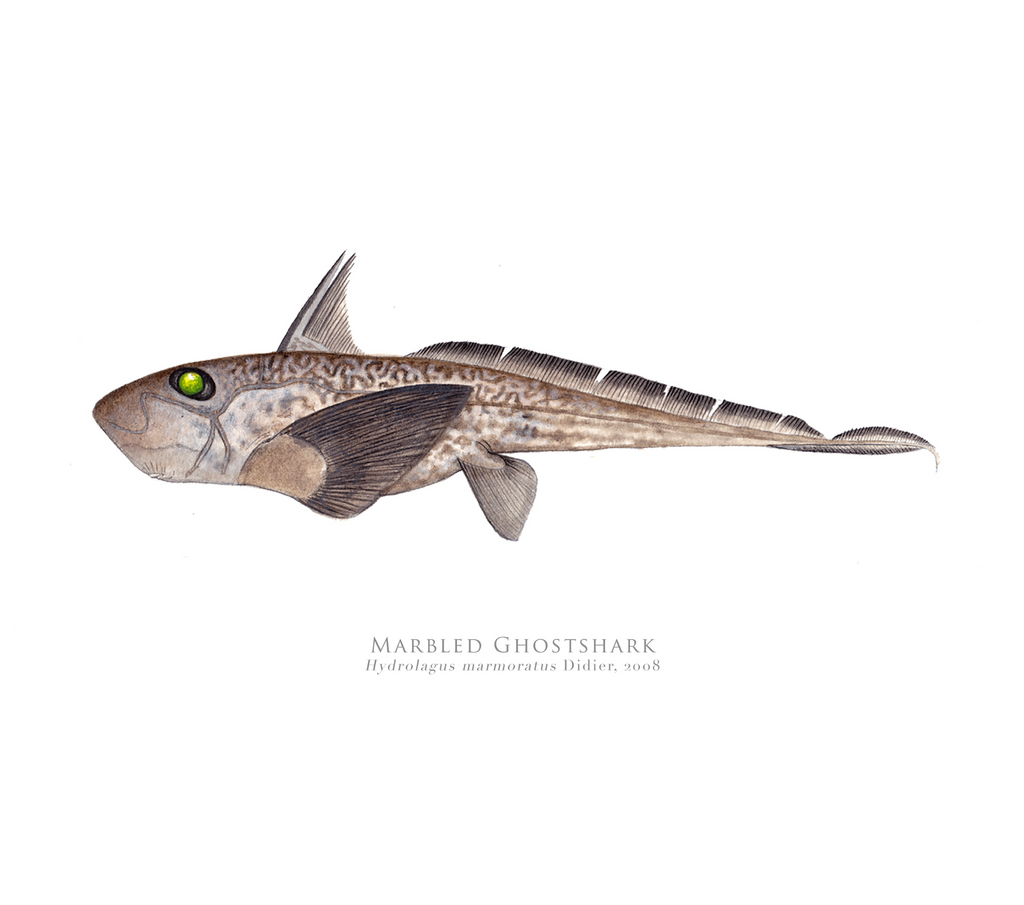 PREORDER   Marbled Ghost Shark, Hydrolagus marmoratus Didier 2008 - Fine Art Print - Stick Figure Fish Illustration