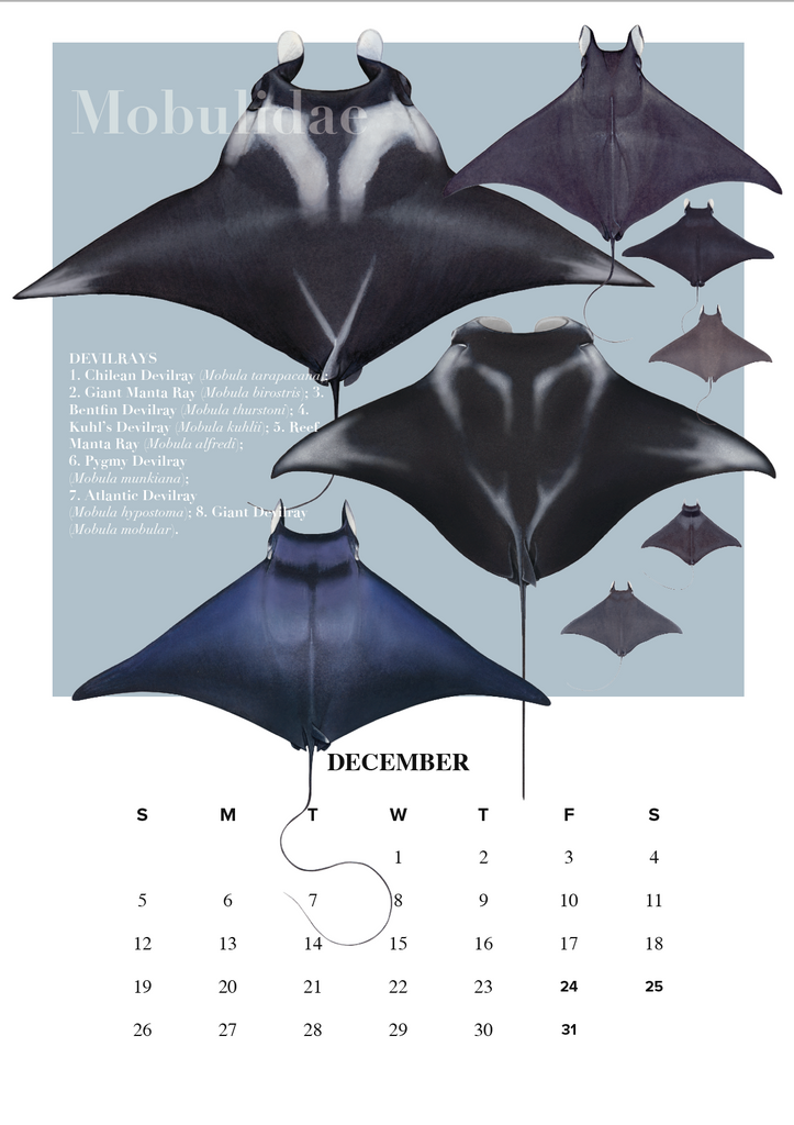 Stick Figure Fish 2021 Calendar - Rays of the world - Stick Figure Fish Illustration