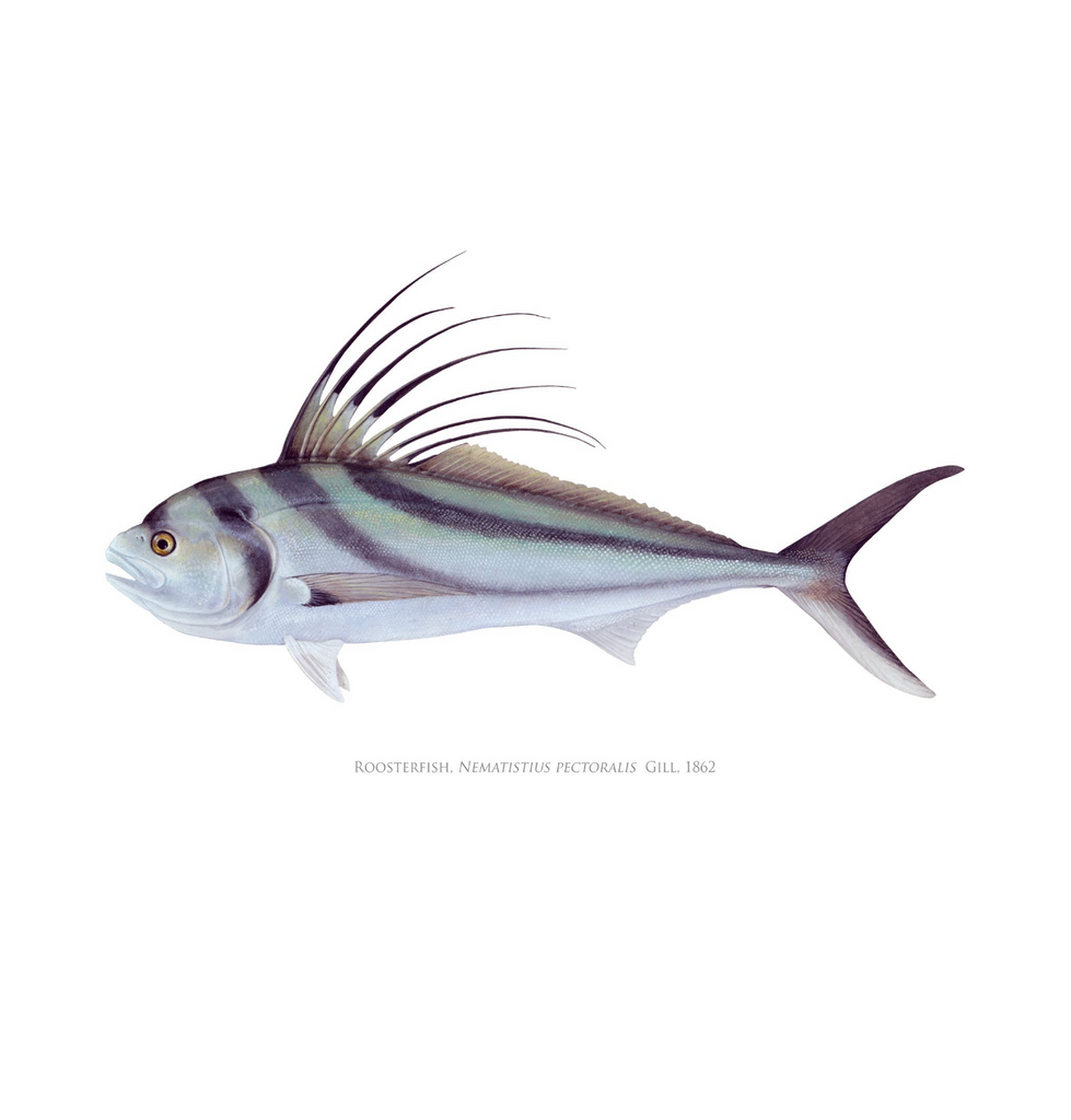 Roosterfish Card - Stick Figure Fish Illustration