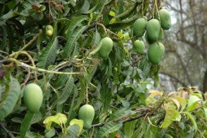 Bunches of mangoes in tree a