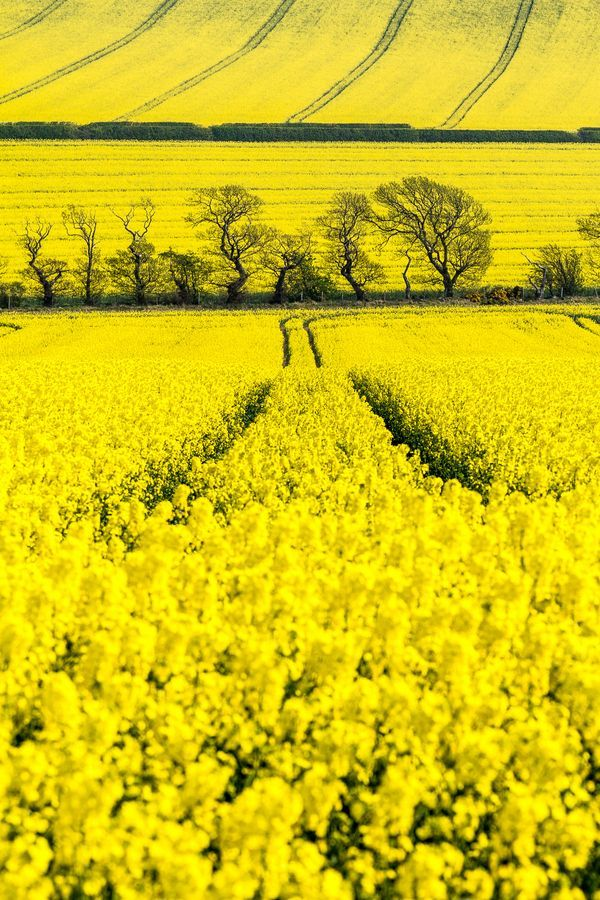 Sometimes the rape fields are everywhere