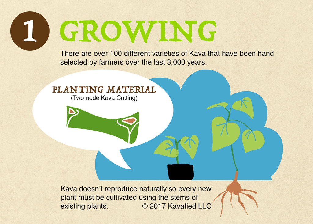 Growing Kava