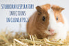 Stubborn Respiratory Infections In Guinea Pigs