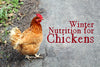 Winter nutrition for chickens isn't hard, but it is important.