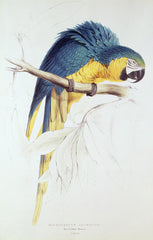 Blue and Yellow Macaw, Edward Lear Alternate View
