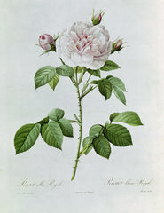 Rosa Alba Regalis , Pierre-Joseph Redouté Alternate View