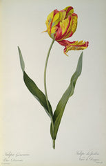 Tulipa gesneriana dracontia, from `Les Liliacees',  Pierre-Joseph Redouté Alternate View