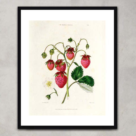 The Roseberry Strawberry, Watte & Thomas Kelly