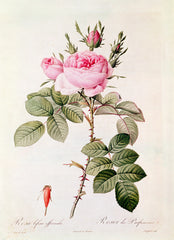 Rosa Bifera Officinalis, Pierre-Joseph Redouté Alternate View