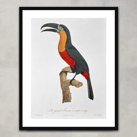 Toucan: Great Red-Bellied, Jacques Barraband