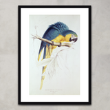 Blue and Yellow Macaw, Edward Lear