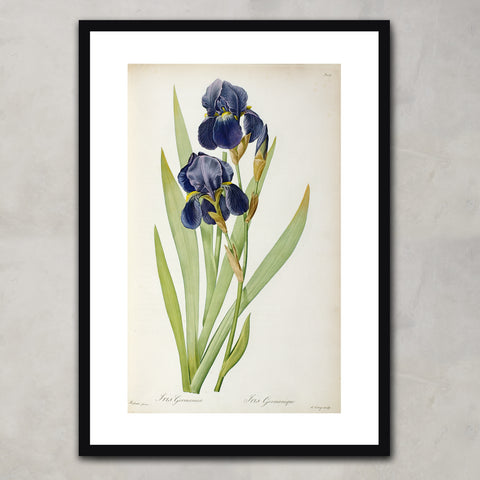 Iris Germanica, from `Les Liliacees