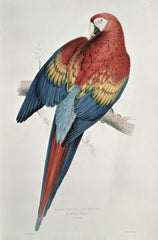 Red and Yellow Macaw, Edward Lear Alternate View