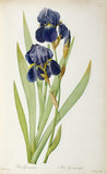 Iris Germanica, from `Les Liliacees', Pierre-Joseph Redouté