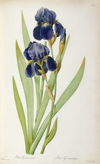 Iris Germanica, from `Les Liliacees', Pierre-Joseph Redouté Alternate View