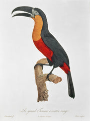 Toucan: Great Red-Bellied, Jacques Barraband Alternate View
