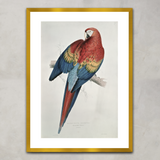 Red and Yellow Macaw, Edward Lear