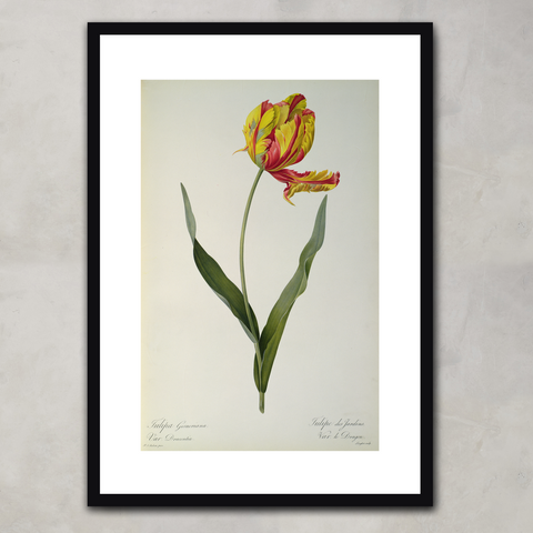 Tulipa gesneriana dracontia, from `Les Liliacees',  Pierre-Joseph Redouté