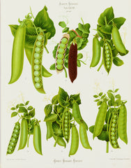 "Peas: from the ""Album Benary"" Tab. XXVII, G. Severeyns Alternate View"