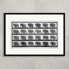 Elephant walking from 'Animal Locomotion', Eadweard Muybridge