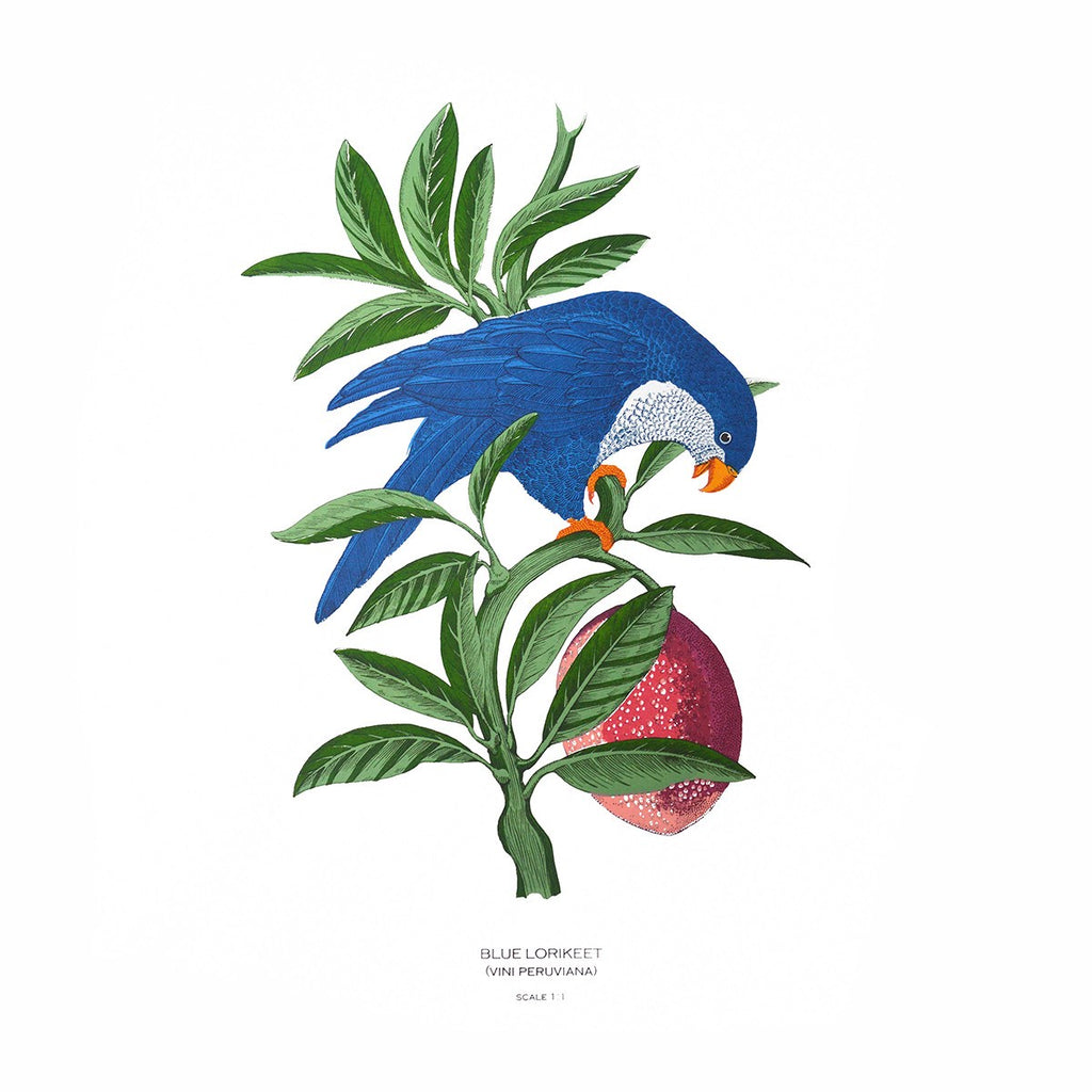 Blue Lorikeet, Fanny Shorter - CultureLabel - 1