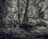 Fern Forest 1, Morgan Silk - CultureLabel - 1